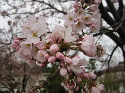 河口湖桜アップ