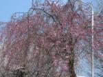 アビオ枝垂桜1