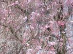 アビオ枝垂桜2
