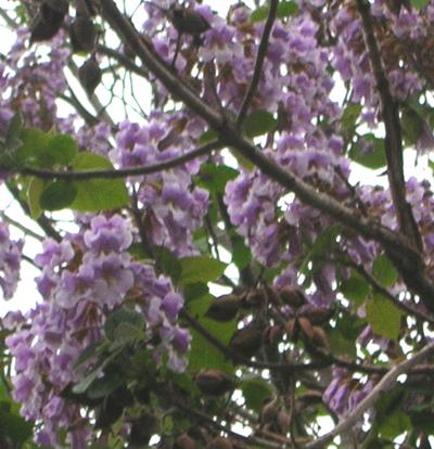 清瀬市内の桐の花その2