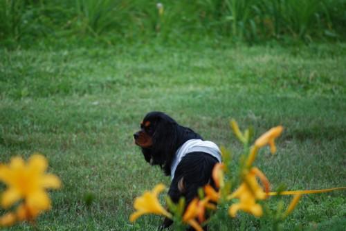 ニッコーキスゲ咲いてます!