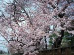 桜08-2