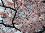 桜08-3