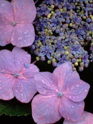 20080712紫陽花