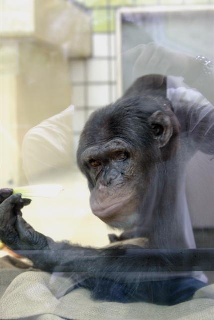20080502チンパンジー