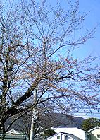 sakura-k.jpg
