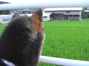 お散歩で牛さんに『こんにちは~』 2008.7.14