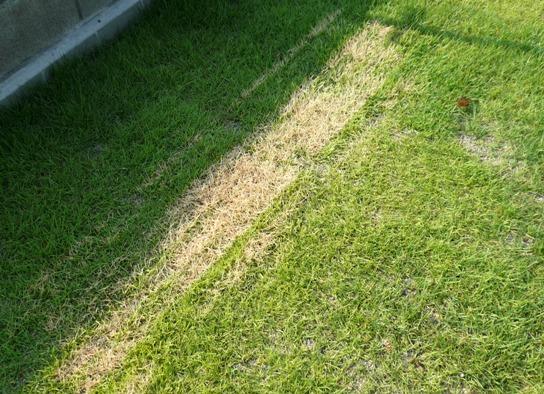 繊細すぎるぞ、芝生っ!