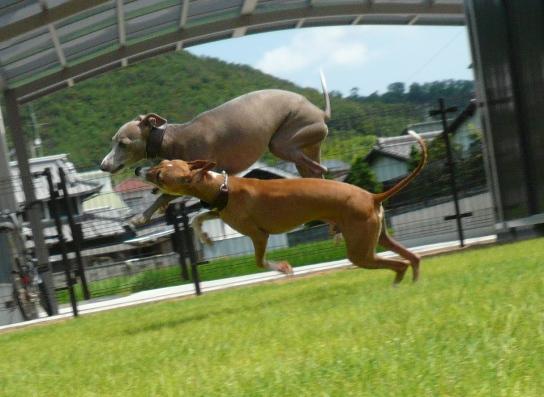 ディオを避けて、ジャンプするトト(どうやらディオっちが噛むらしい)