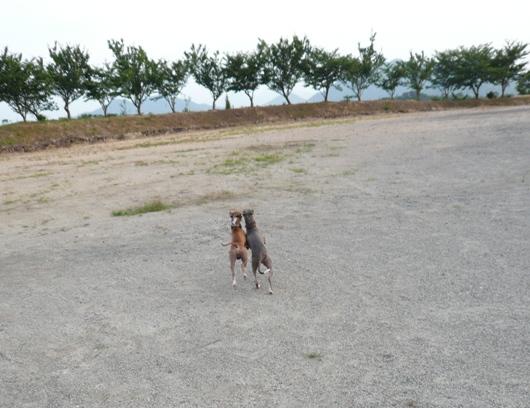ディオは、トトと肩を寄せて走るのが好き。