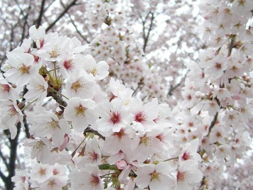今年最後の満開桜
