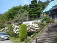 福徳貴寺石楠花2008423-1