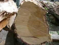 折れた枝の切り口です。けっこう年数いってます!!