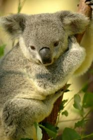CO2増加でコアラに危機が…