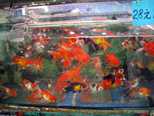 金魚~なんという色彩美!!