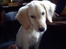 ワンコー!!ゴールデンレトリバーの子犬みたい、可愛いなぁ