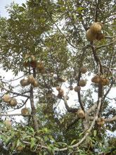1本の樹にワンサカ成る!ドリアン狩りはしたくないけど毎日食べられる!