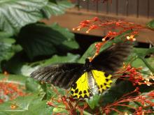こんな蝶が自然におるんです!!!!