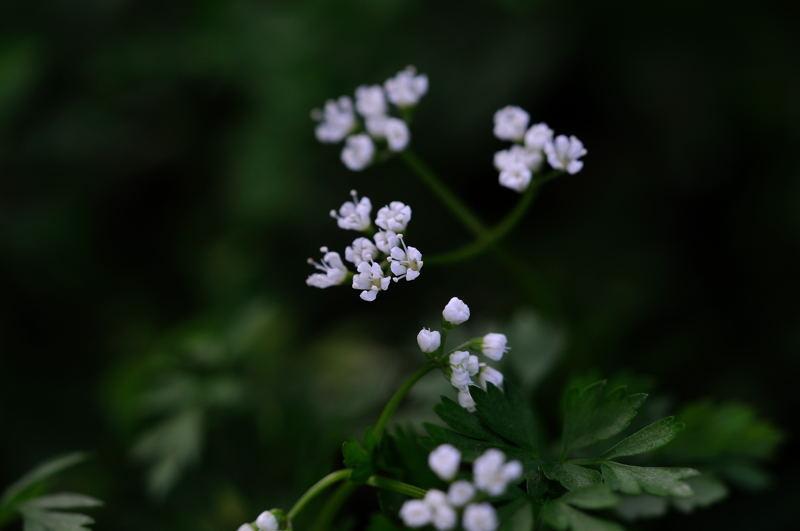 セントウソウ(仙洞草)