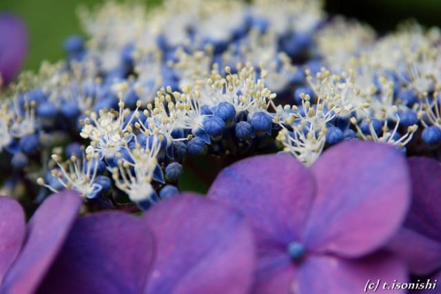庭の紫陽花(2008/6/14)