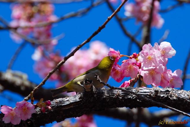 河津桜原木とメジロ