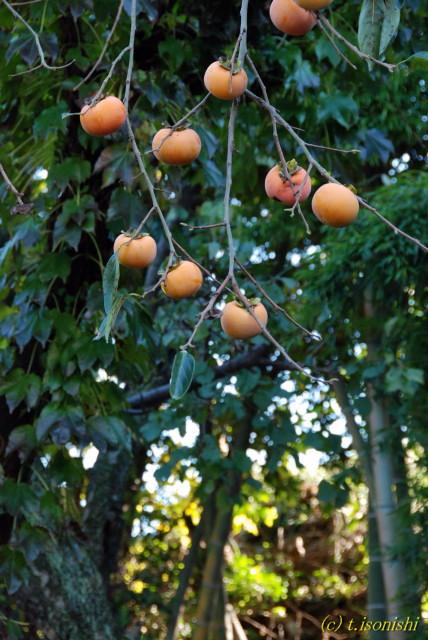 柿の木(2007/10/28)