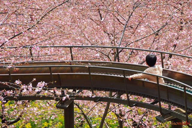 桜の中を(2008/3/2)