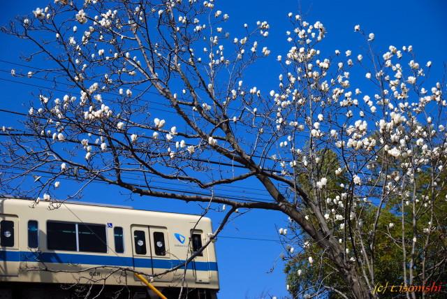 ハクモクレンと小田急電車(2008/3/22)