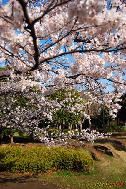 椎名谷公園の桜ほぼ満開(2008/3/29)