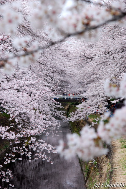 高座渋谷・桜ヶ丘の千本桜(2008/3/30)