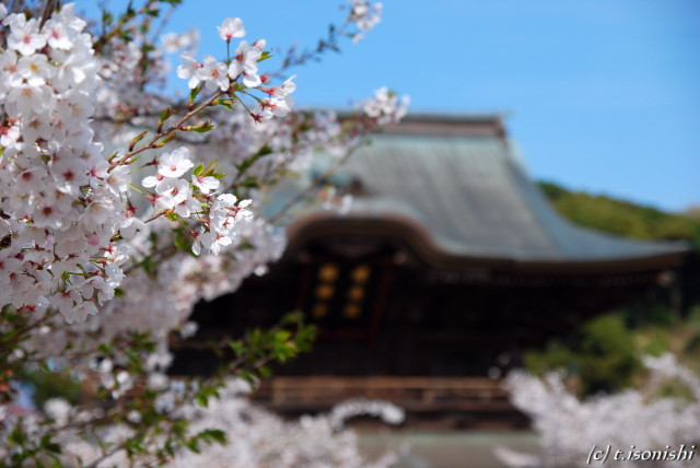 建長寺と桜(2008/4/5)