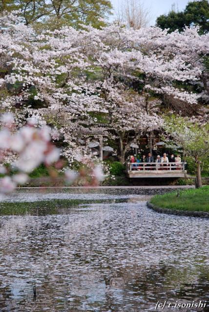 源平池の桜(2008/4/5)