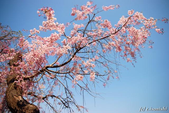 大船フラワーセンターの枝垂桜(2008/4/6)