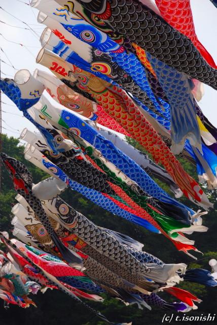 鯉のぼり(2008/4/29)