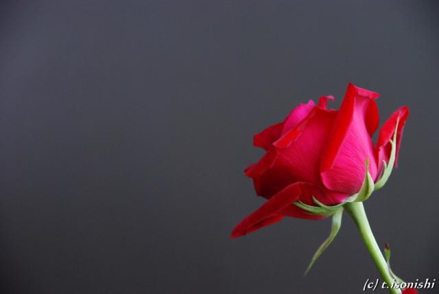 薔薇(2008/5/17)