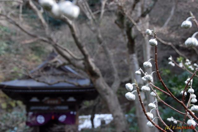 円覚寺のみつまた(2008/2/11)