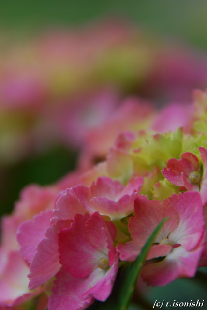 紫陽花(2008/6/8)