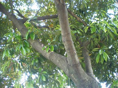 伊丹・瑞ヶ池公園近くの歩道の木