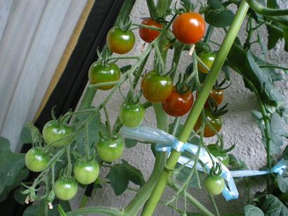 うちのベランダミニトマト