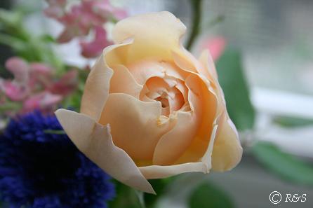 バラオレンジ2IMG_8647-1