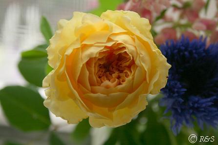 バラ黄色2IMG_8648
