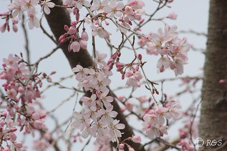 桜5IMG_9150