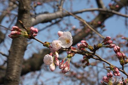 多摩川の桜1IMG_9367