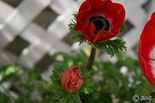 赤いアネモネ1小IMG_8688