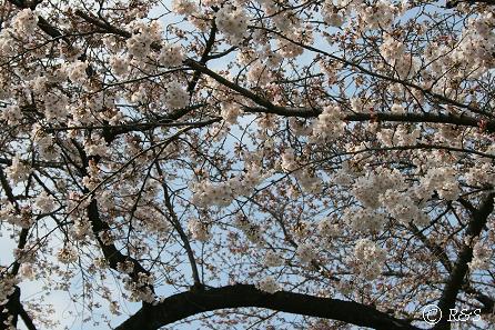 成城の桜1IMG_8760