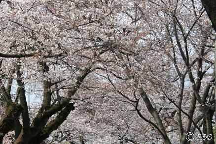 成城の桜3IMG_8762