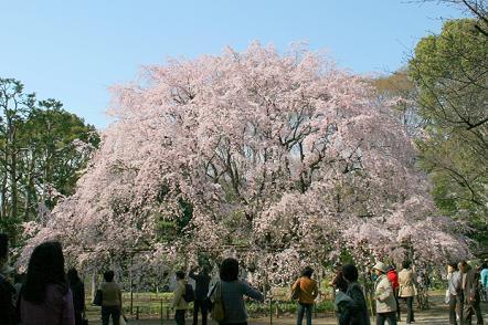 六義園枝垂桜4IMG_8886-2