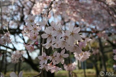 六義園枝垂桜2IMG_8888