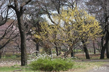 武蔵野公園-サンシュユ3IMG_9660