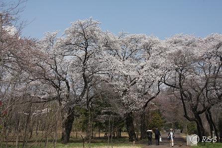武蔵野公園-ソメイヨシノ1IMG_9635